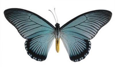 Papiliozalmoxis-Parusnik_Zalmoksis1.jpg
