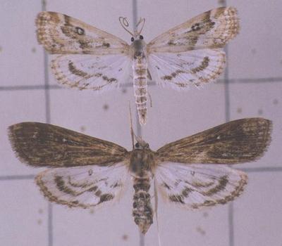 Parapoynx-stratiotata-Ognevka-vodnaya-vodorezovaya1.jpg