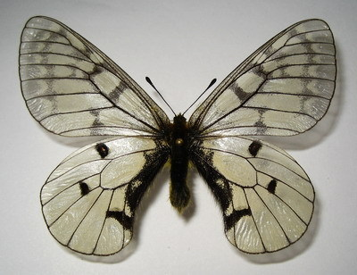 Parnassius-eversmanni-felderi-Apollon-Feldera