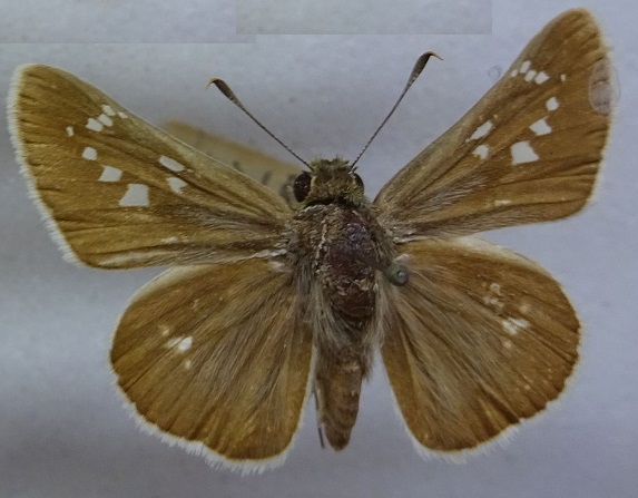 Pelopidas-jansonis-Murray-18751.jpg