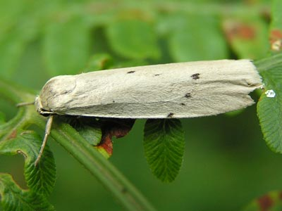 Pelosia-muscerda-Lishainica-myshinaya.jpg