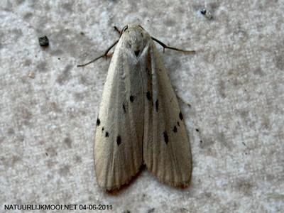 Pelosia-muscerda-Lishainica-myshinaya1.jpg