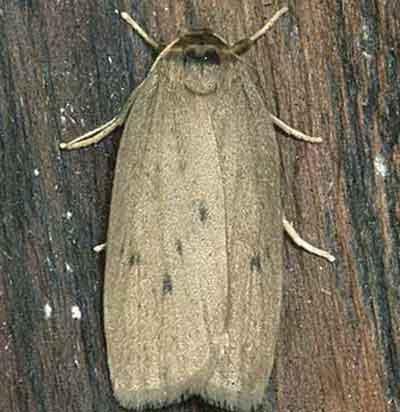 Pelosia-obtusa-Lishainica-zheltaya.jpg