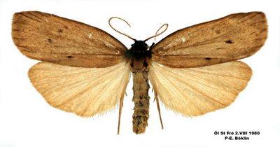 Pelosia-obtusa-Lishainica-zheltaya1.jpg