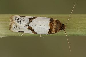 Periclepsis-cinctana-Listovertka-ramapezievaia-opoiasannaia