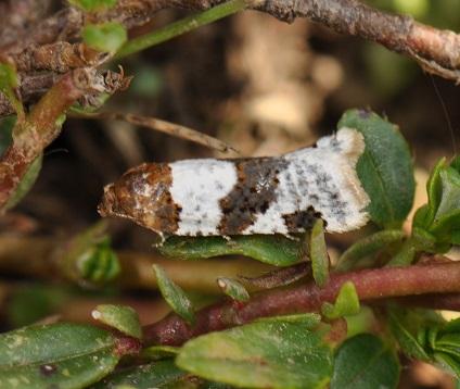 Periclepsis-cinctana-Listovertka-ramapezievaia-opoiasannaia1.jpg