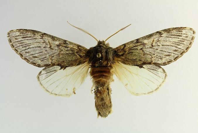 Peridea_anceps1.JPG