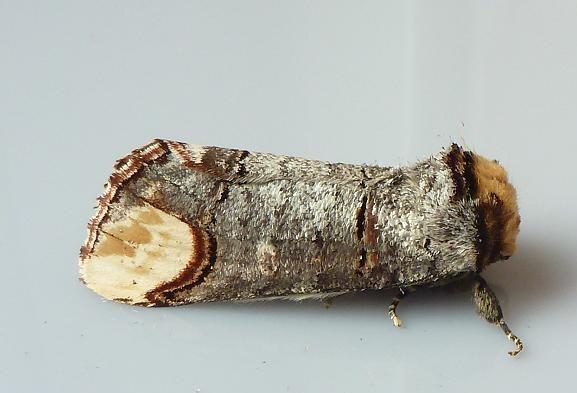 Phalera_bucephala1.JPG