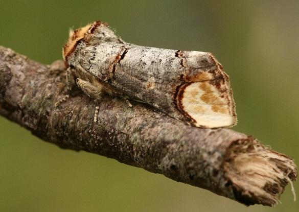Phalera_bucephala2.JPG