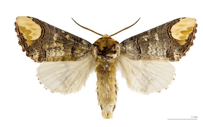 Phalera_bucephala3.JPG