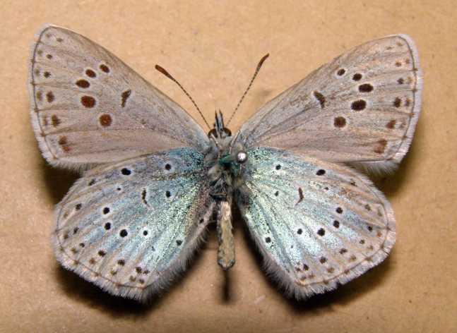 Phengaris-cyanecula-Eversmann-1848-Golubyanka-blestyaschaya