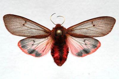 Phragmatobia-fuliginosa-Medvedica-buraya1.jpg