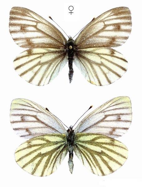 Pieris-bryoniae-Hubner-1805-Belyanka-Gornaya