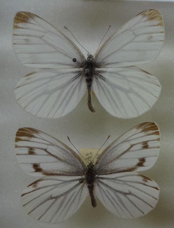 Pieris-dulcinea-Butler-1882-Belyanka-Dulsineya1.jpg