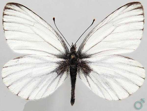 Pieris-euorientis-Verity-1908-Belyanka-youzhnosibirskaya1.jpg