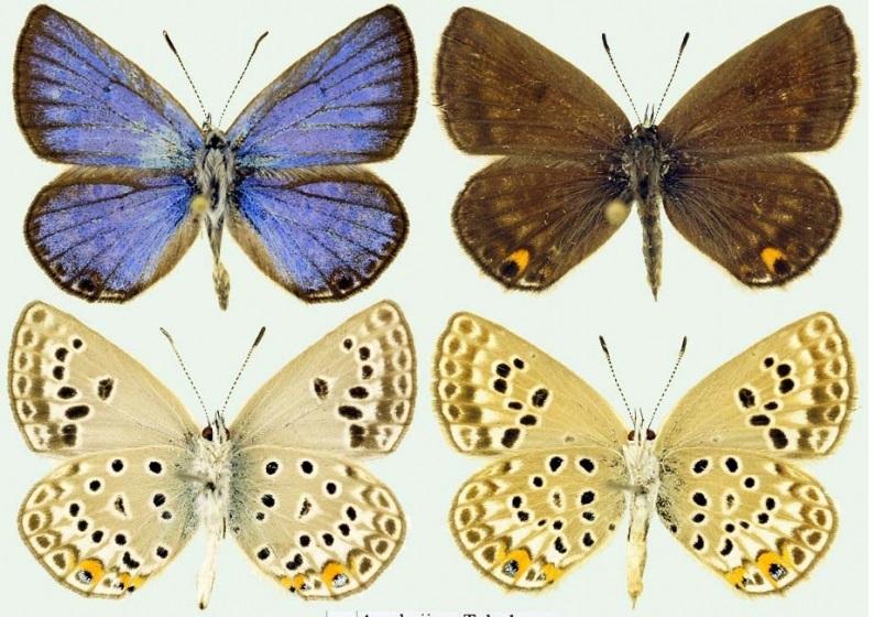 Plebejidea-loewii-Zeller-1847-Golubyanka-leva