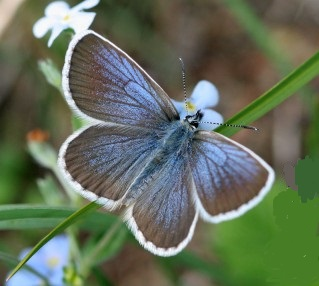 Plebejus-subsolanus-Eversmann-Golubyanka-vostochnaya