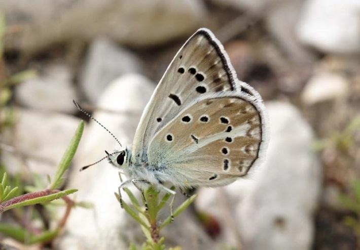 Polyommatus-dagestanicus-Forster-1960-Golubyanka-dagestanskaya