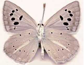 Polyommatus-damocles-Herrich-Schaffer-1844-Golubyanka-damokl1.jpg