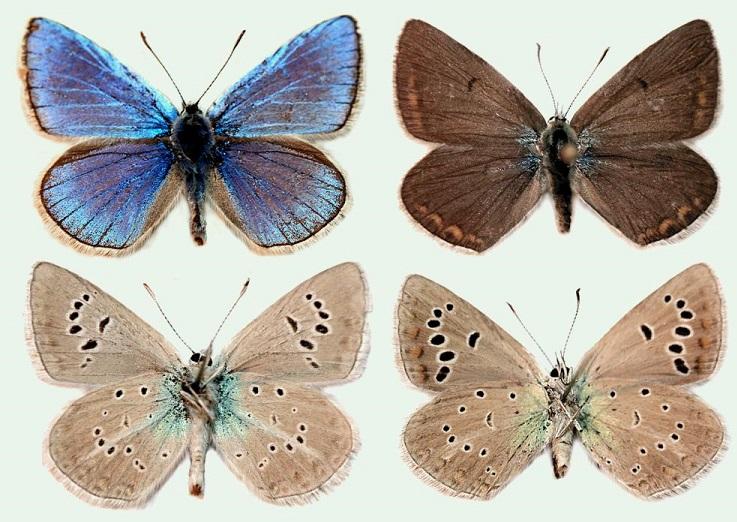 Polyommatus-damone-Eversmann-1841-Golubyanka-damona