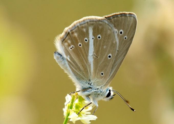 Polyommatus-demavendi-Pfeiffer-1938-Golubyanka-Demavendskaya