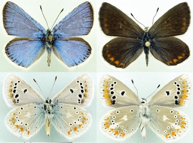 Polyommatus-dorylas-Golubyanka-doriley