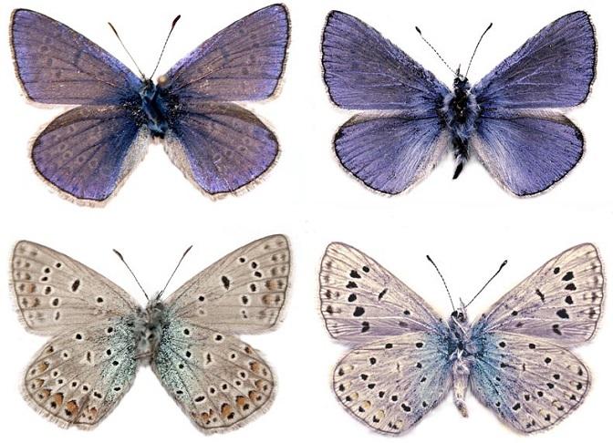 Polyommatus-elena-Stradomsky-Arzanov-1999-Golubyanka-Elena