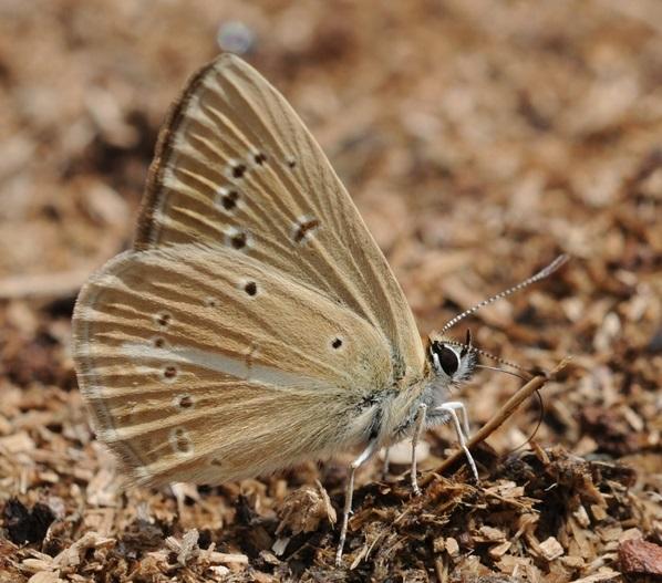 Polyommatus-eriwanensis-Forster-1960-Golubyanka-erevanskaya