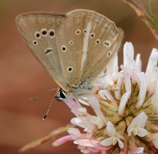 Polyommatus-eriwanensis-Forster-1960-Golubyanka-erevanskaya1.jpg