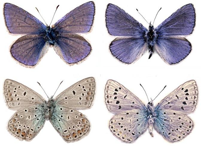 Polyommatus-icadius-Grum-Grshimailo-1890-Golubyanka-ikadii