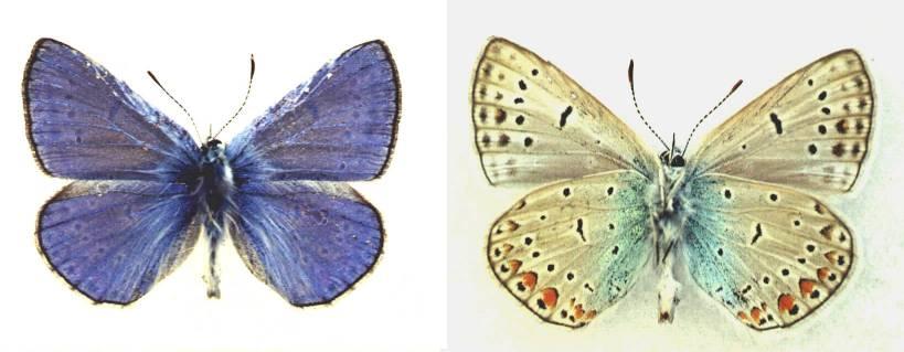 Polyommatus-icadius-Grum-Grshimailo-1890-Golubyanka-ikadii1.jpg