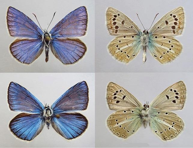 Polyommatus-lukhtanovi-Dantchenko-2004-Golubyanka-Luhtanova