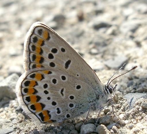 Polyommatus-tsvetajevi-Golubyanka-Cvetaeva