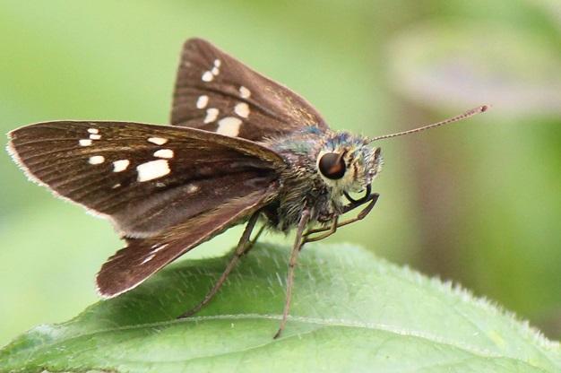 Polytremis-pellucida-Tolstogolovka-azhurnaya1.jpg
