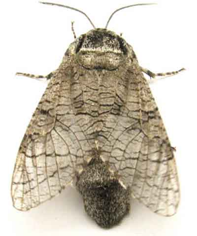 Prionoxystus_macmurtrei1.jpg