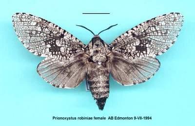 Prionoxystus_robiniae2.jpg