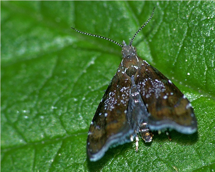 Prochoreutis-sehestediana-Mole-listovertka-Fabriciusa