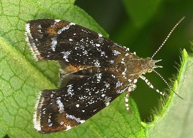 Prochoreutis-sehestediana-Mole-listovertka-Fabriciusa1.jpg