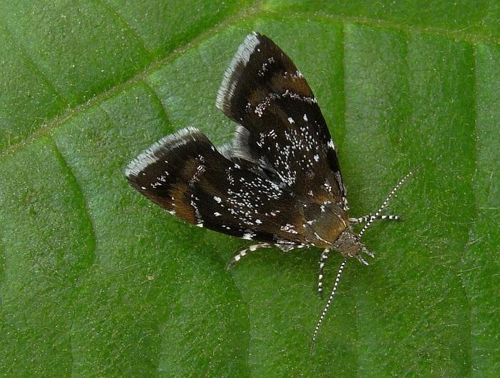 Prochoreutis-sehestediana-Mole-listovertka-Fabriciusa2.jpg