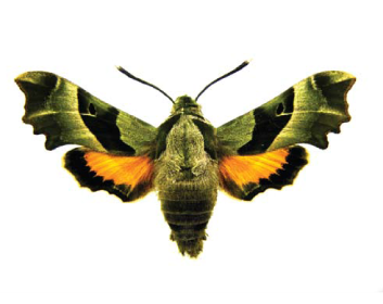Proserpinus_proserpina-Brazhnik-prozerpina
