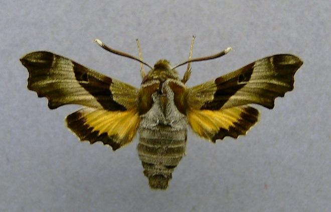 Proserpinus_proserpina-Brazhnik-prozerpina2.jpg