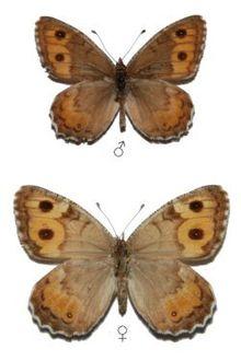 Pseudochazara-hippolyte-Esper-1784-Barhatnica-gippolita