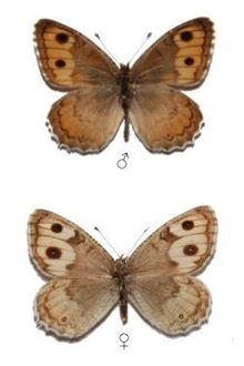 Pseudochazara-pallida-Staudinger-1901-Barhatnica-blednaya