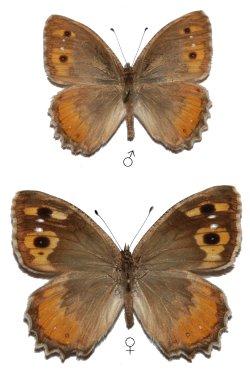 Pseudochazara-pelopea-Klug-1832-Barhatnica-pelopeya