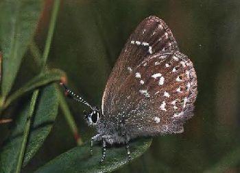Pseudophilotes-anthracias-Golubyanka-ugolnaya1.jpg