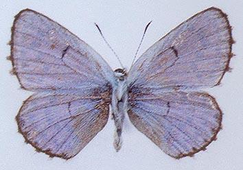 Pseudophilotes-jacuticus-Korshunov-Viidalерр-1980-Golubyanka-Yakutskaya
