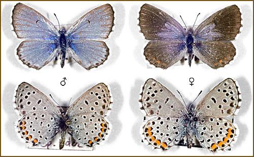 Pseudophilotes-vicrama-Golubyanka-vikrama