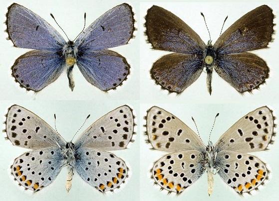 Pseudophilotes-vicrama-Golubyanka-vikrama1.jpg