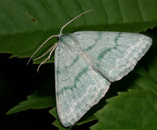 Pseudoterpna-pruinata-Pyadenica-zelenaya-rakitnikovaya1.jpg