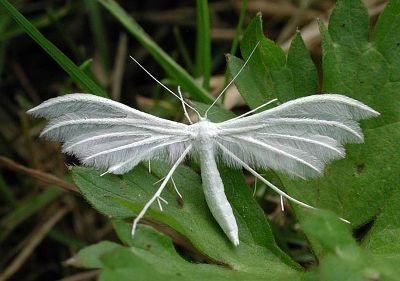 Pterophorus-pentadactyla-Palcekrylka-pyatipalaya-(Palcekrylka-slivovaya)1.jpg